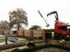 Pleached Hornbeam Trees - Planting