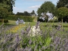 Lavender hidcote and Agapanthas africanas